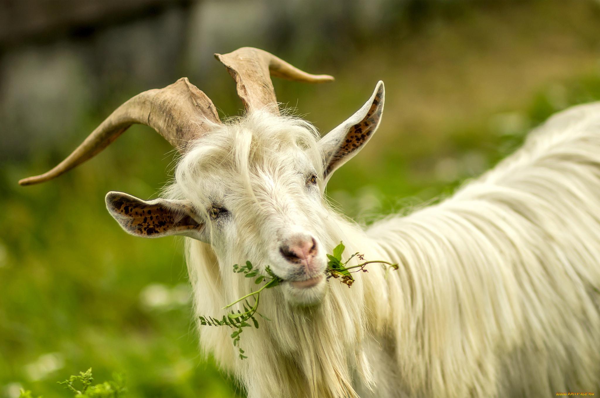 картинки козы картинки козы ольгинке предоставляют возможность